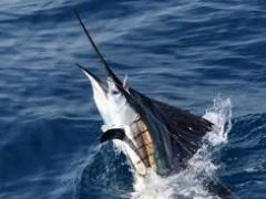 the art of the catch:  sport fishing in puerto vallarta